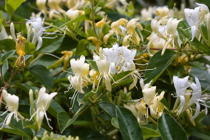 hình ảnh hoa và lá cây kim ngân