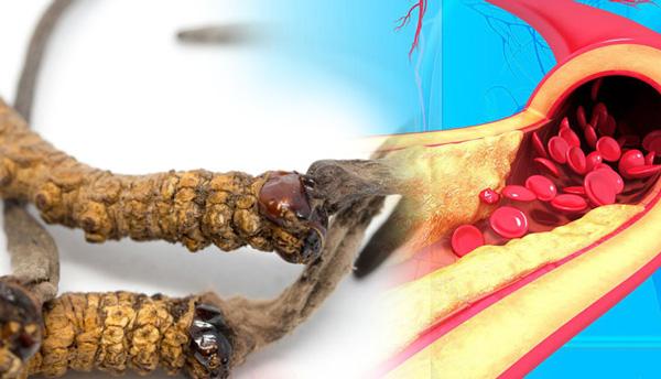 Tác dụng của đông trùng hạ thảo nâng cao sức khỏe tim mạch